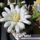 Gymnocalycium schickendantzii  Avtor: Leon56 rastline.mojforum.si