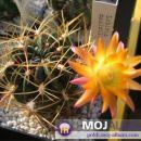 Lobivia maximilliana  Avtor: Leon56 rastline.mojforum.si