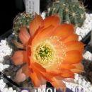 Lobivia rebutioides L566  Avtor: Leon56 rastline.mojforum.si