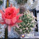 Lobivia pugionacantha ssp. hybrid Avtor: Leon56 rastline.mojforum.si