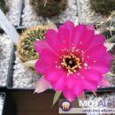 Lobivia tiegeliana ssp. WR84  Avtor: Leon56 rastline.mojforum.si