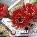Lobivia tiegeliana var. cinnabarina Avtor: Leon56 rastline.mojforum.si