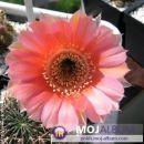 Lobivia drijveriana Avtor: Leon56 rastline.mojforum.si