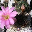 Lobivia chilensis Avtor: Leon56 rastline.mojforum.si