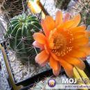 Lobivia culpinensis Avtor: Leon56 rastline.mojforum.si