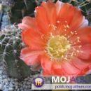 Lobivia cachensis var. pencapoma WR 238 Avtor: Leon56 rastline.mojforum.si