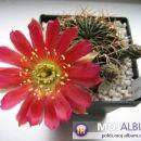 Lobivia acanthoplegma var. patula  Avtor: Leon56 rastline.mojforum.si