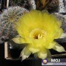Lobivia quienensis WR112  Avtor: Leon56 rastline.mojforum.si
