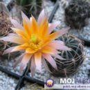 Lobivia mistiensis Avtor: Leon56 rastline.mojforum.si