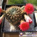 Lobivia pampana var. Aussat 1999 Mesa 6.541.5  Avtor: Leon56 rastline.mojforum.si