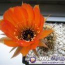Lobivia rubescens Avtor: Leon56 rastline.mojforum.si