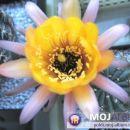 Lobivia iridescens Avtor: Leon56 rastline.mojforum.si