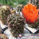 Lobivia haageana Avtor: Leon56 rastline.mojforum.si