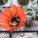 Lobivia glauca Avtor: Leon56 rastline.mojforum.si