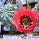 Lobivia jajoiana Avtor: Leon56 rastline.mojforum.si
