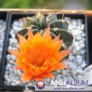 Lobivia akersii Avtor: Leon56 rastline.mojforum.si