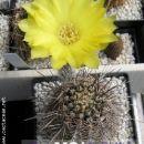 Lobivia shaferi Avtor: Leon56 rastline.mojforum.si