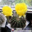 Lobivia aurea Avtor: Leon56 rastline.mojforum.si