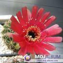 Lobivia cinnabarina Avtor: Leon56 rastline.mojforum.si