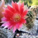 Lobivia zecheri Avtor: Leon56 rastline.mojforum.si