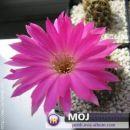 Lobivia winterana Avtor: Leon56 rastline.mojforum.si