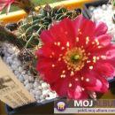Lobivia oxyalabastra  Avtor: Leon56 rastline.mojforum.si