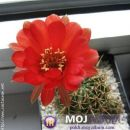 Lobivia aurea dobeana Avtor: Leon56 rastline.mojforum.si