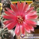 Lobivia arachnacantha ssp. densiseta Avtor: Leon56 rastline.mojforum.si