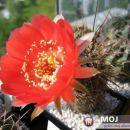 Lobivia haematantha Avtor: Leon56 rastline.mojforum.si