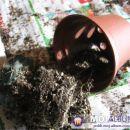 Prvi pogoj je, da je kaktus popolnoma suh, da ga lahko z lahkoto izlončimo. Avtor: Leon56
