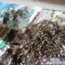Kaktus previdno otresemo odvečne zemlje in ga očistimo. Če se zemlja drži korenin jo s sil