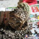 V takem primeru, je bolje da korenin ne razkopavamo. Avtor: Leon56 rastline.mojforum.si