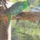 pojoče papige