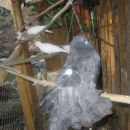 golob pavček in grlice