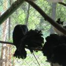 golob pavček