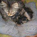 miki-ameriška gozdna mačka  z naraščajom