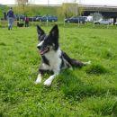 Sem psička pasme Border collie iz priznane hrvaške psarne Mawlch. Ime mi je Mawlch Meg bar
