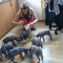Perujski goli pes, mladički naprodaj: 031 855 002 in 041 629 662
