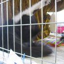 Črno-bela norveška gozdna mačka med precej nezaželenim opravilom na razstavi - lizanjem. :