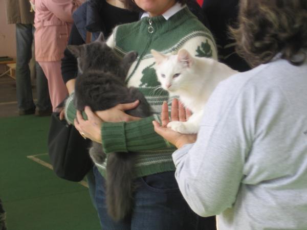 Mislim da norveški gozdni mački: bela in siva.