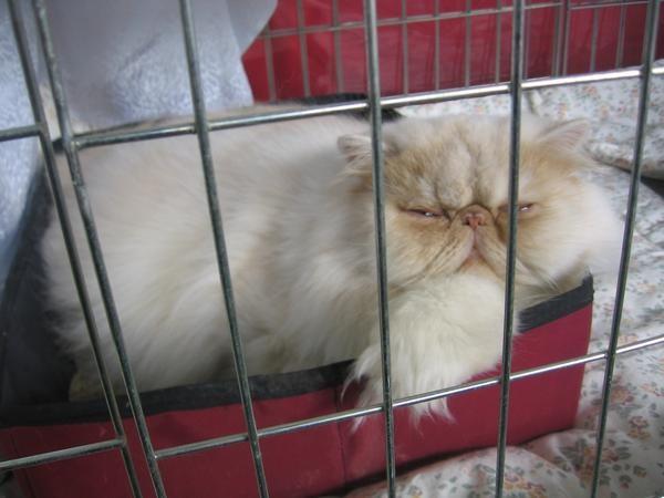 Rdeče-srebrno osenčen perzijec iz mačkarne Hovestadt. Barva, v katero se zaljubiš na prvi