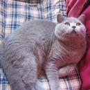 Britanec iz mačkarne Kaler Adali.