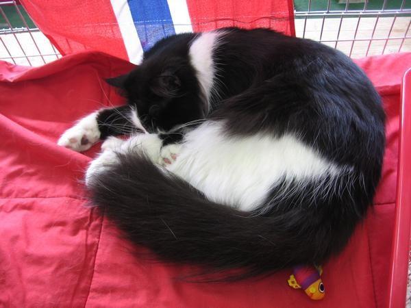 Norveška gozdna mačka iz Italije s čudovitimi belimi copatki in črno-belim obrazkom.