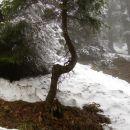 značilno drevo na šestem ovinku - odcep k jami