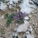 alpska madronščica