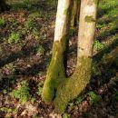 Krakovski gozd