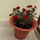 Žametne vrtnice