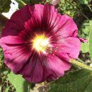 Alcea rosea - Rožlin