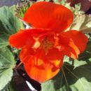 Gomoljna begonija