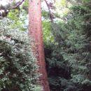 Sekvoja. 40 metrov visoko drevo. Najedeno od mravlj.
